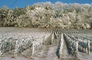 Le vignoble champenois en hiver