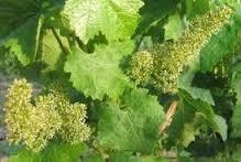 fleurs-de-vignes