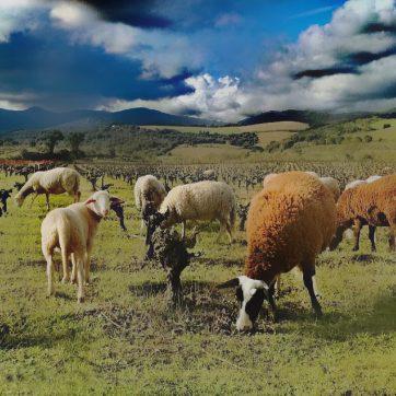 faugeres-moutons-362x362